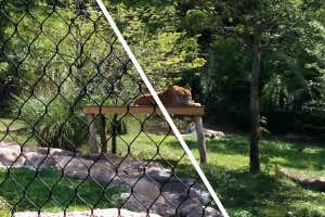foto de tigre