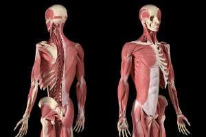 Musculatura humana